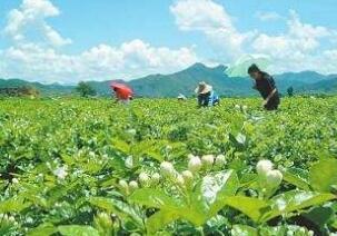 横县梧州六堡茶茉莉花茶制作技艺入选广西非遗名录