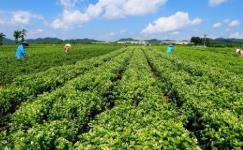 《2020中国茉莉花茶产销形势分析报告》发布